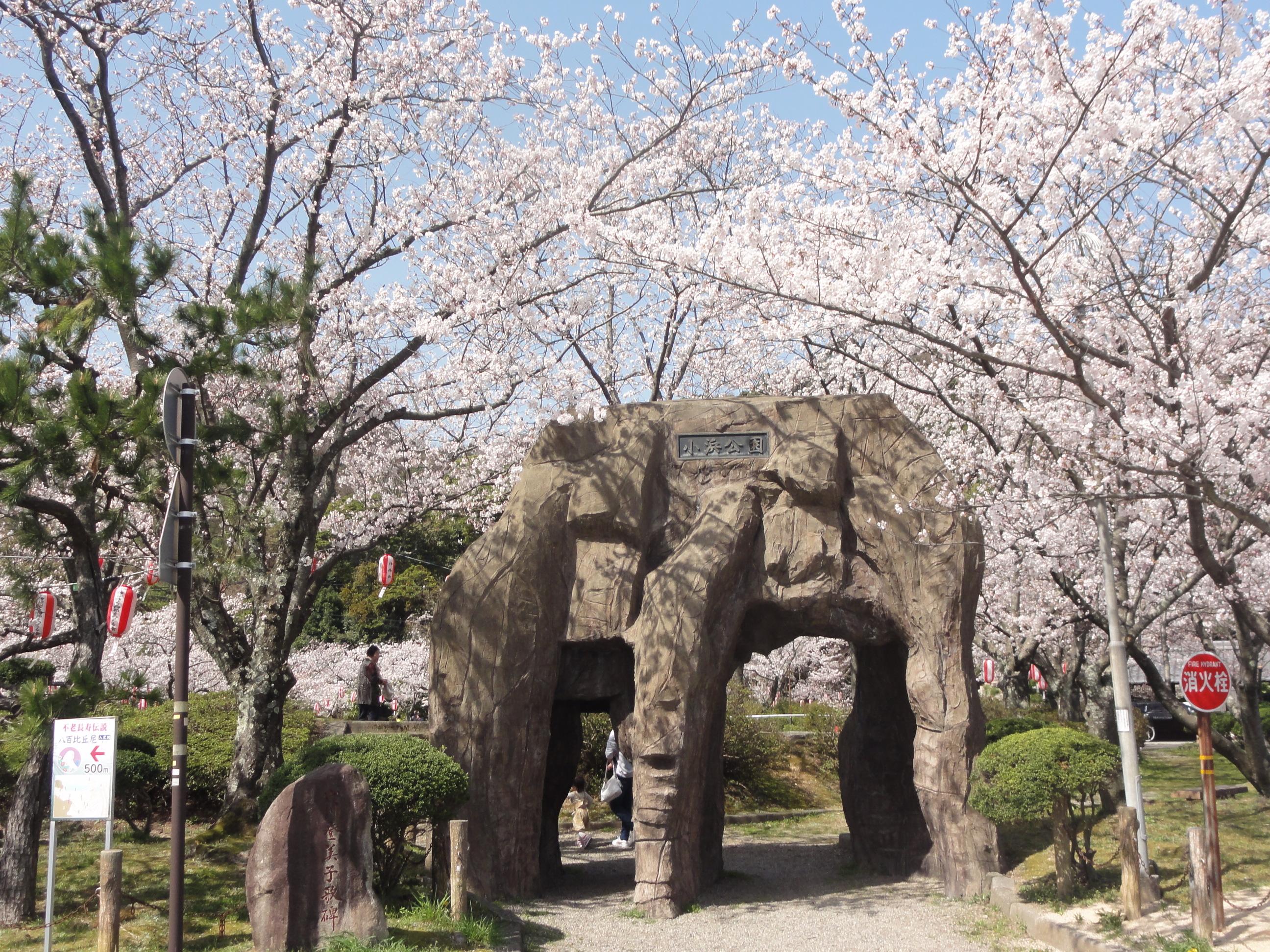 2018 小浜公園(若狭おばま)桜まつり