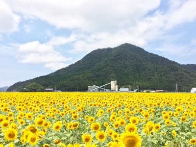 2018 加茂のひまわり畑(小浜市)