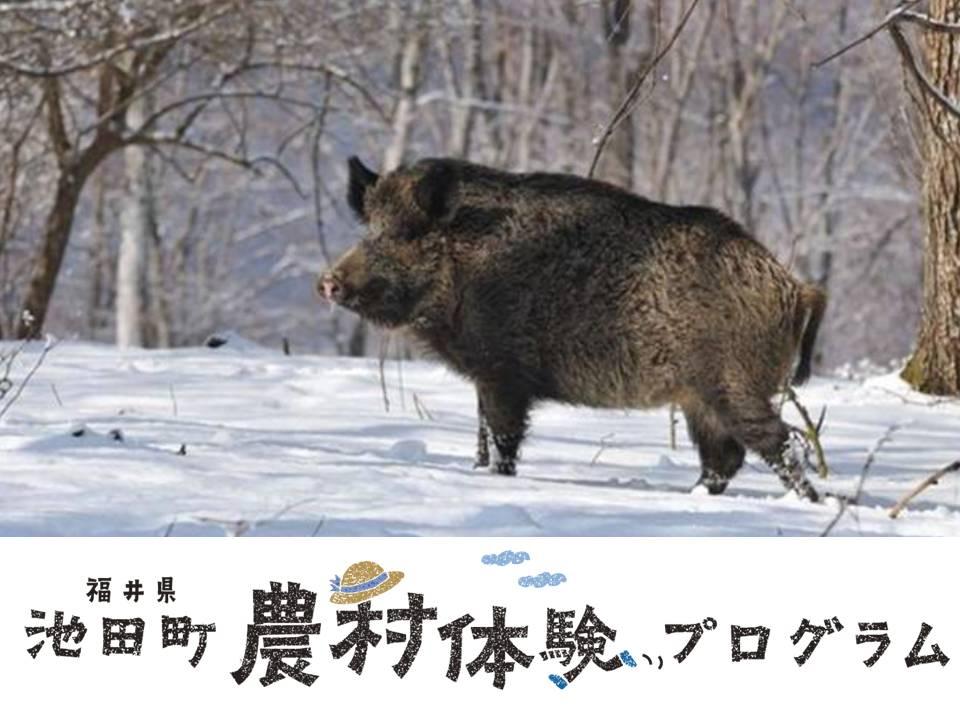 2019 イノシシの解体&しし鍋体験(今立郡池田町)