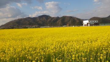 2019 第10回さばえ菜花まつり(鯖江市)