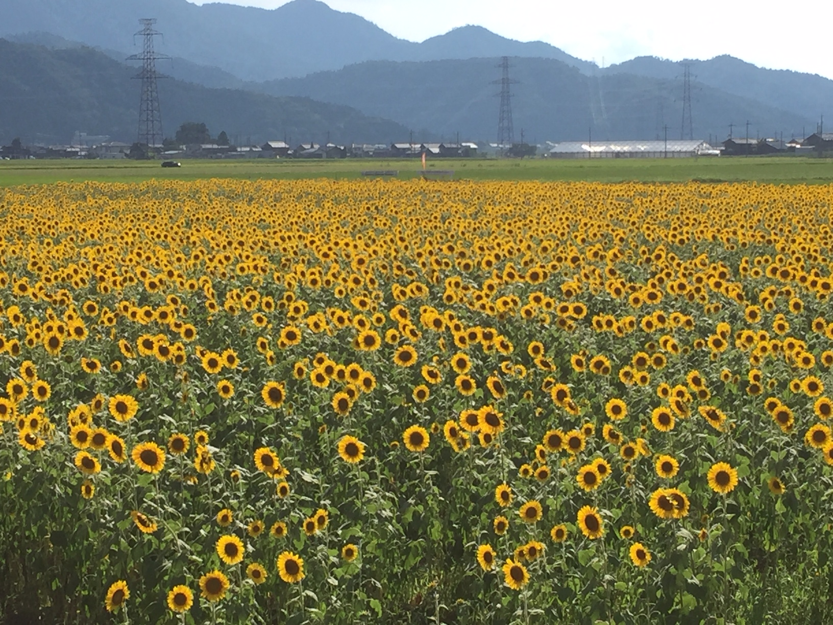 2019 加茂のひまわり畑(小浜市)